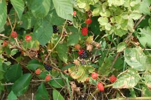 Foraging for Blackberries