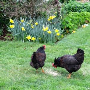 Frugal Kiwi chickens