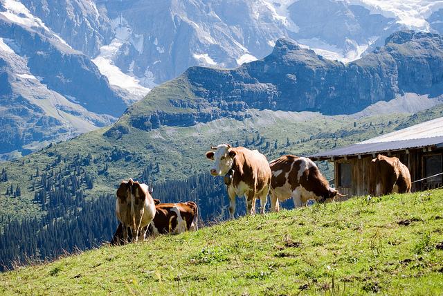source of Swiss cheese